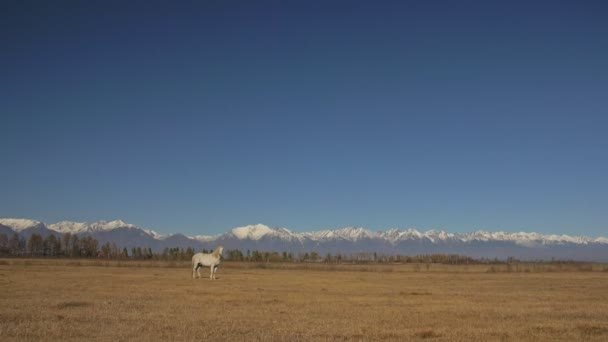 Walking and running horse. White horses moves slowly against the background of the grazing herd. Horse running on the steppes in background snow capped mountain. Slow Motion at rate of 180 fps.
