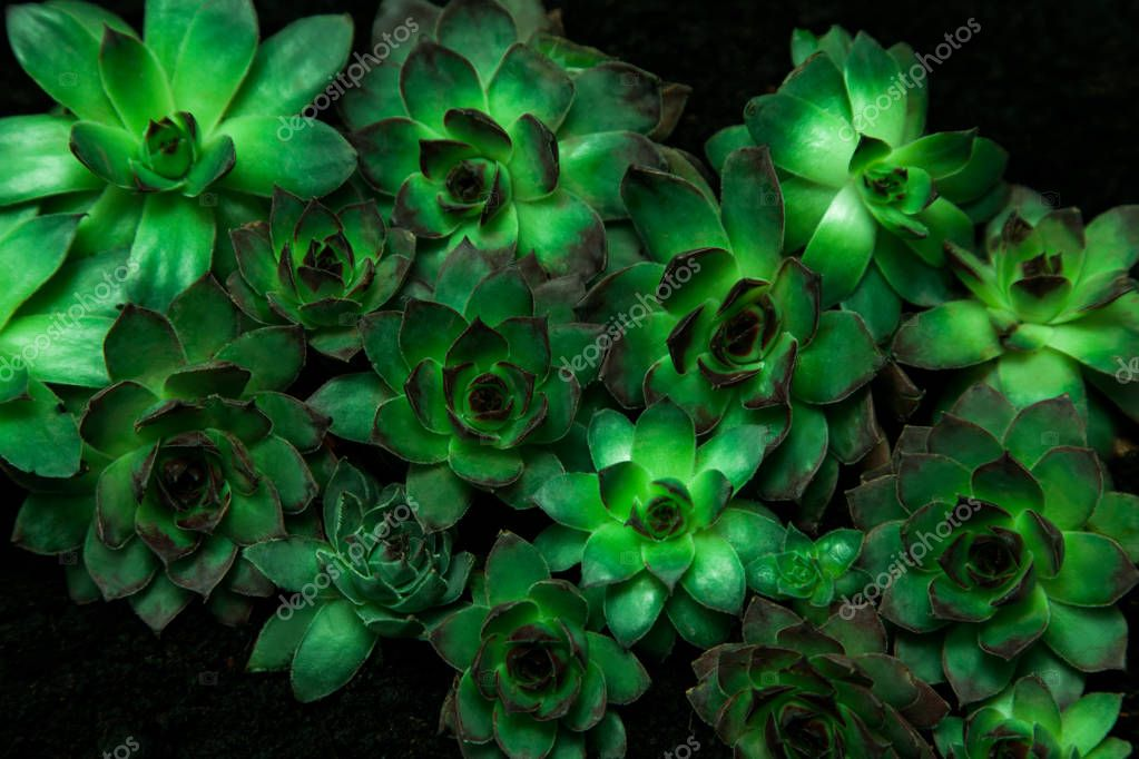 Aeoniums set flower green leaves pink purple yellow plant black background top view coleus stone rose