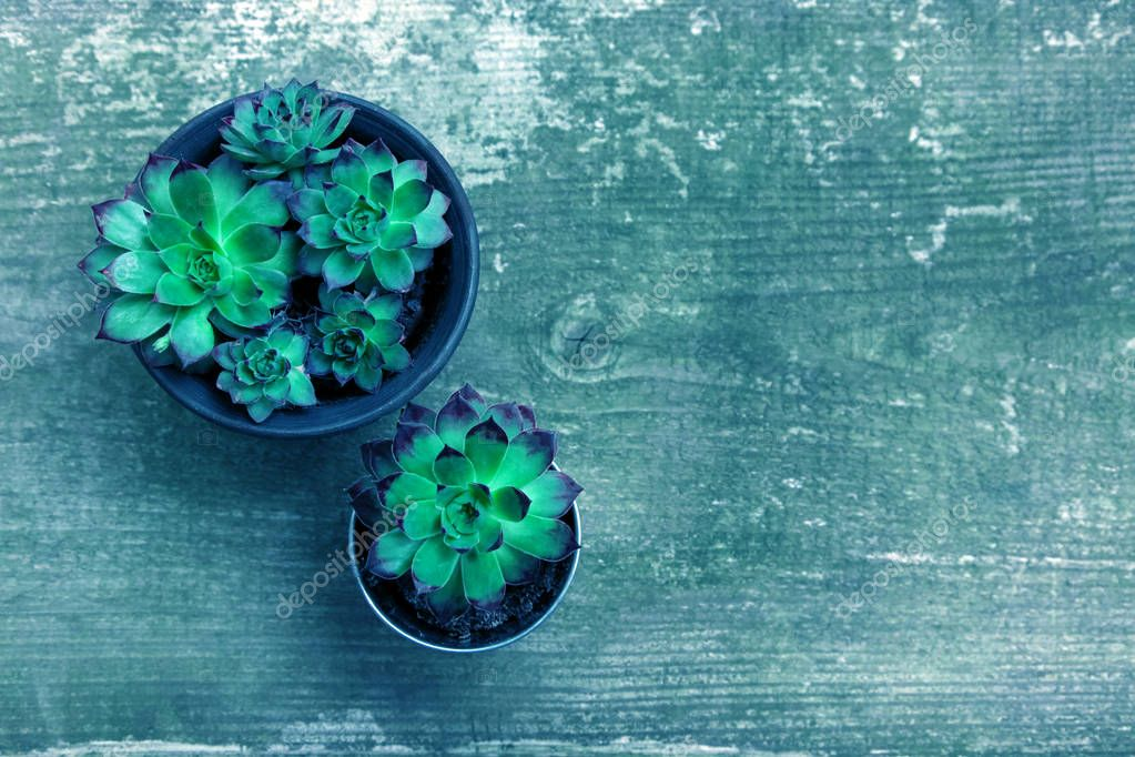 Aeoniums wood timber flower green blue leaves pink purple plant background top view coleus stone rose
