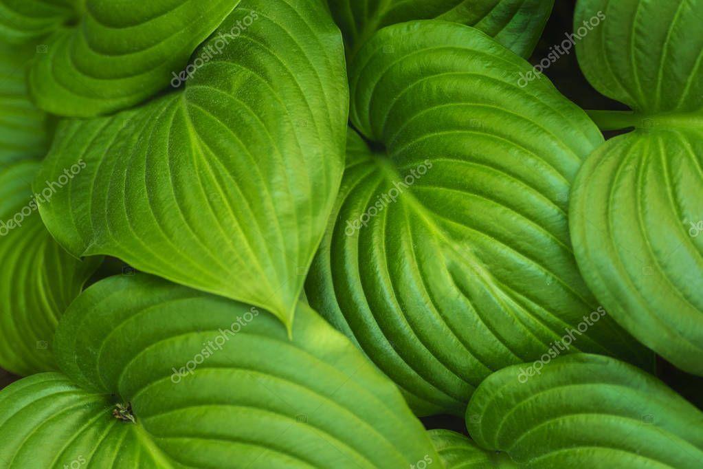 Green background of leaves. Hosta in garden