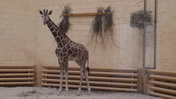 Mladé žirafy v Zoo. Zamčený sám doma