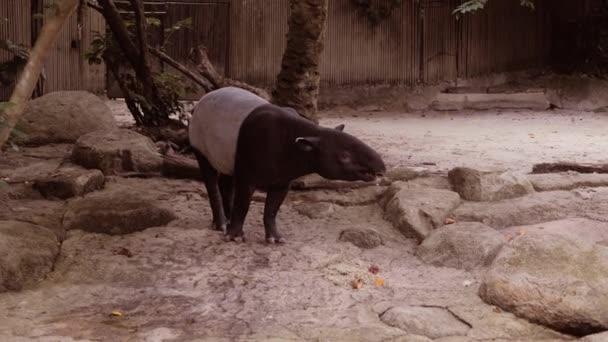 Příroda volně žijících zvířat roztomilý Malayan tapír chodit.