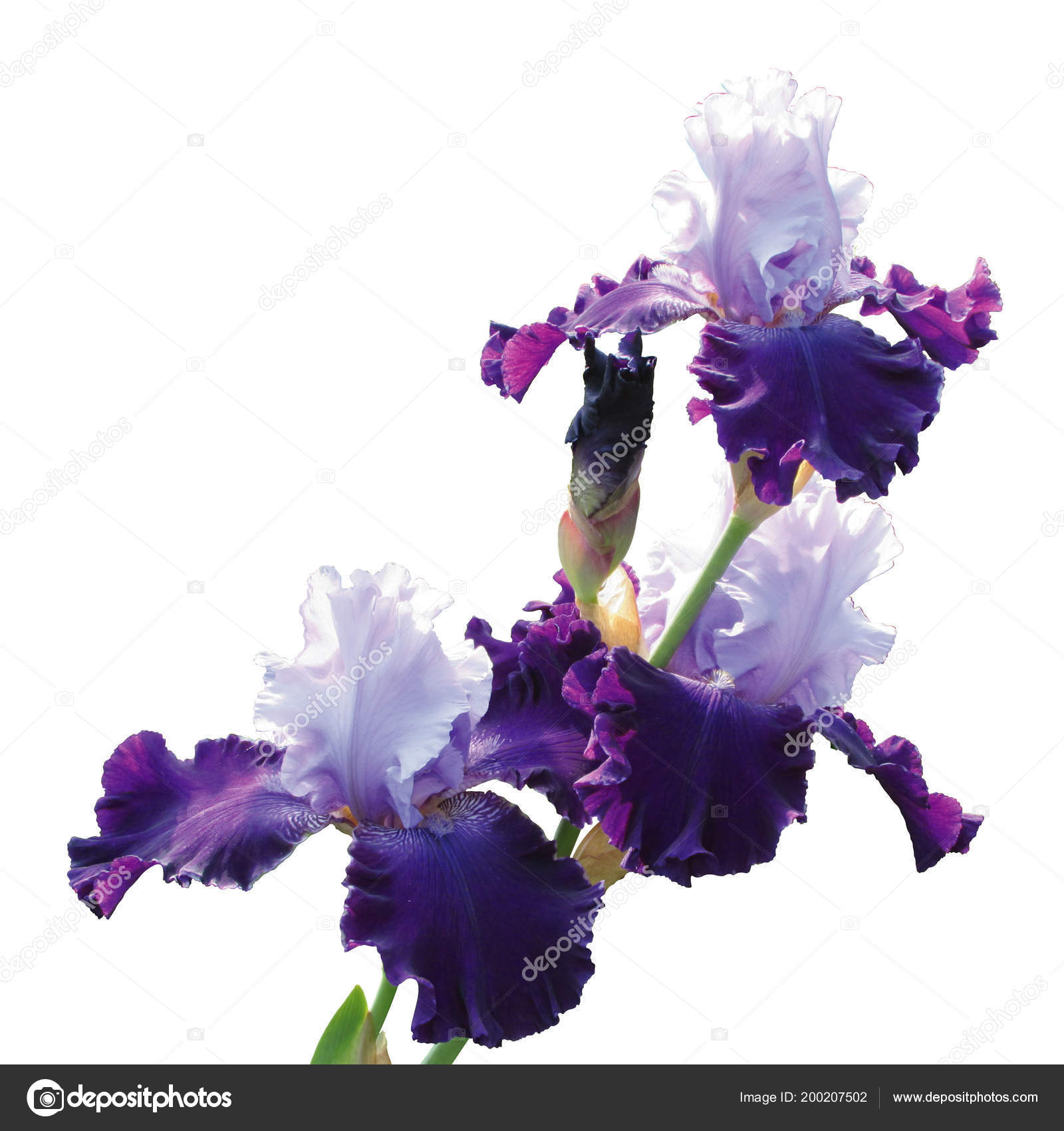 Iris varieties of the Great Gatsby isolated on white background. Beautiful blue and purple flowers. — Photo by Khaladok