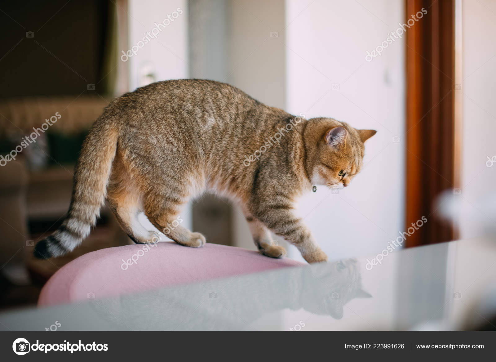 Golden Shaded British Shorthair Cat — Stock Photo © akayarda #223991626