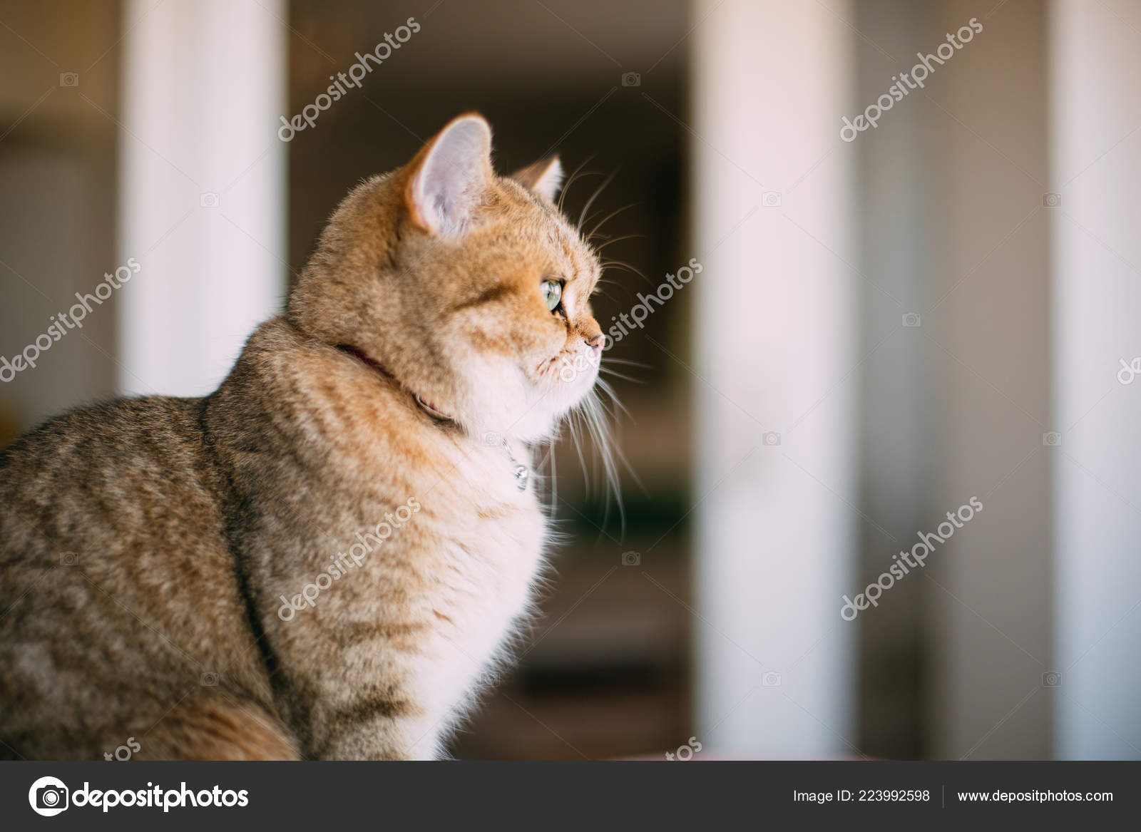 Golden Shaded British Shorthair Cat — Stock Photo © akayarda #223992598