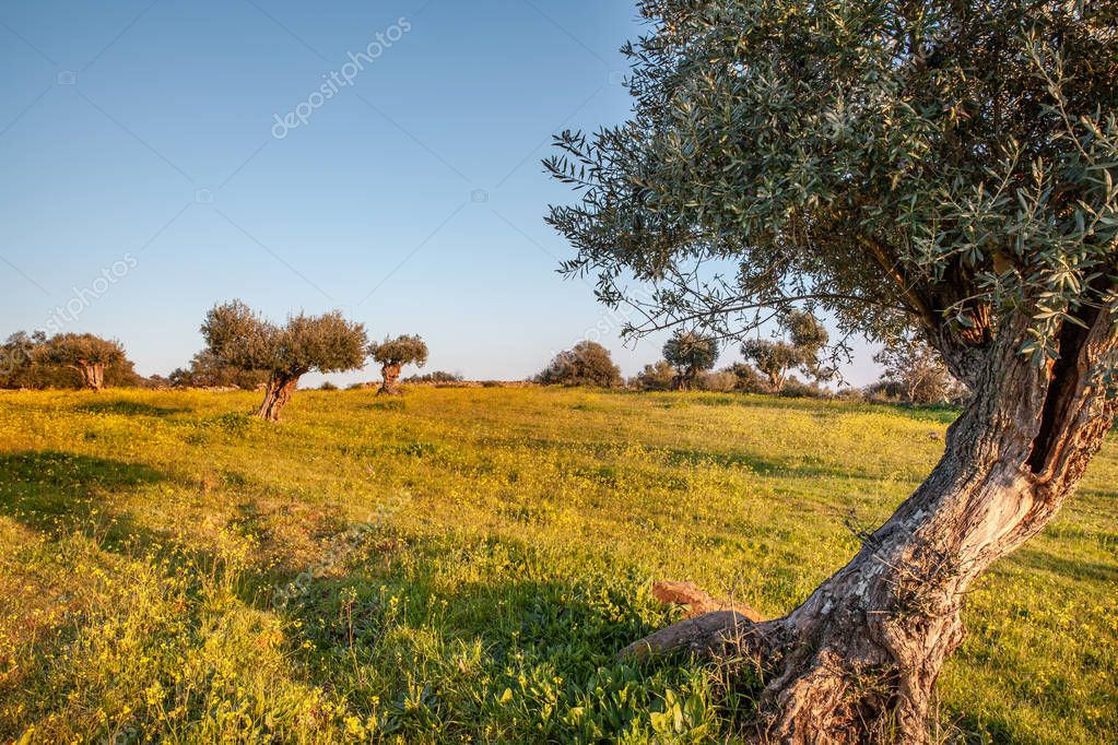 old olive trees grove in Flowery  Alentejo Landscape Portugal Travel