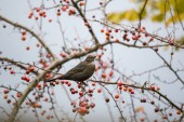 Blackbird ül ága a piros bogyós gyümölcsök
