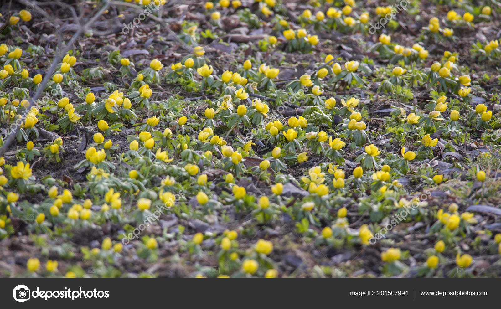 Winter Aconite Blooming Yellow Flowers Forest Floor Dry Beech Leaves