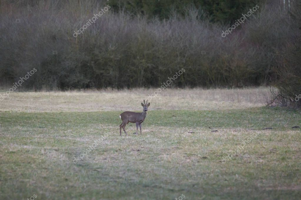 a young roebuck with antlers stands quietly in a meadow in front of a forest edge