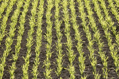 young green winter crops in soil