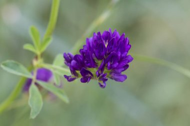 Close up of alfalfa flower with leaves