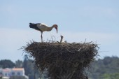Fotografie View of stork standing in nest with chicks
