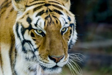 Royal bengal tiger with stare - zoo