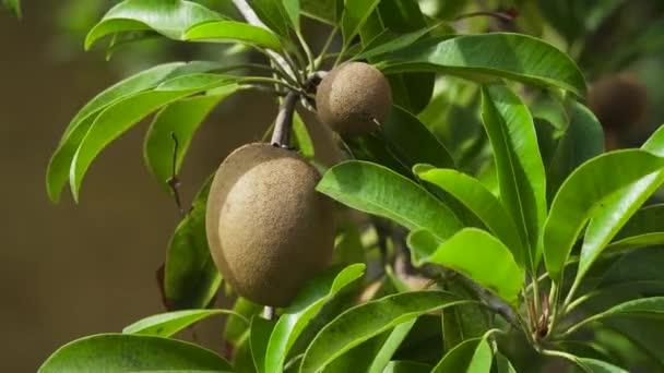 Kiwi gyümölcs a fán