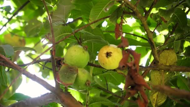 guava ovoce na větev stromu. čerstvé guava ovoce guava Zelený strom sladké a chutné