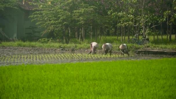 Zemědělci sázejí rýži