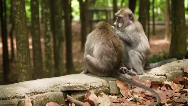 Opice v lese na Bali.