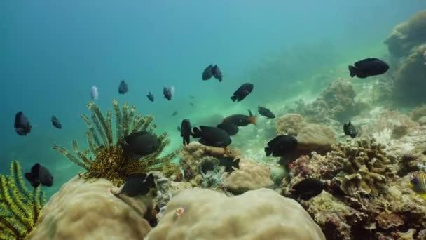 Barriera corallina e pesci tropicali sottacqua. Camiguin, Filippine