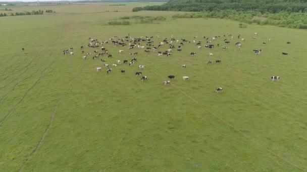 Mucche al pascolo sul pascolo