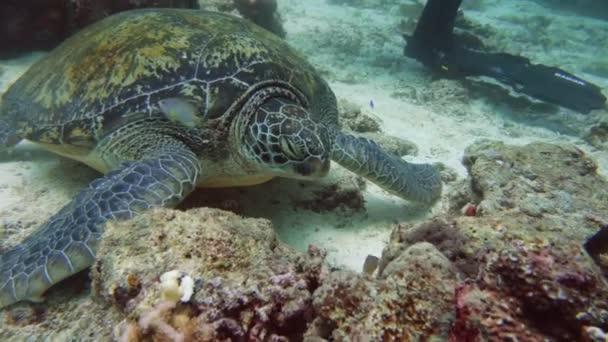 Zöld-tengeri teknős víz alatt a Fülöp-szigeteken.