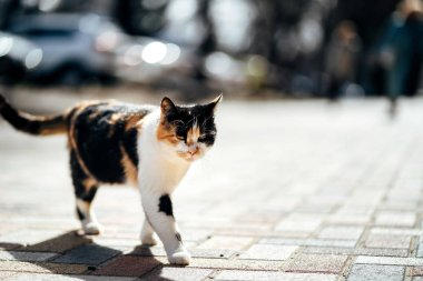 Photo of walking hungry unhappy tricolor homeless cat.