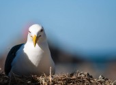 Southern black backed gull close-up