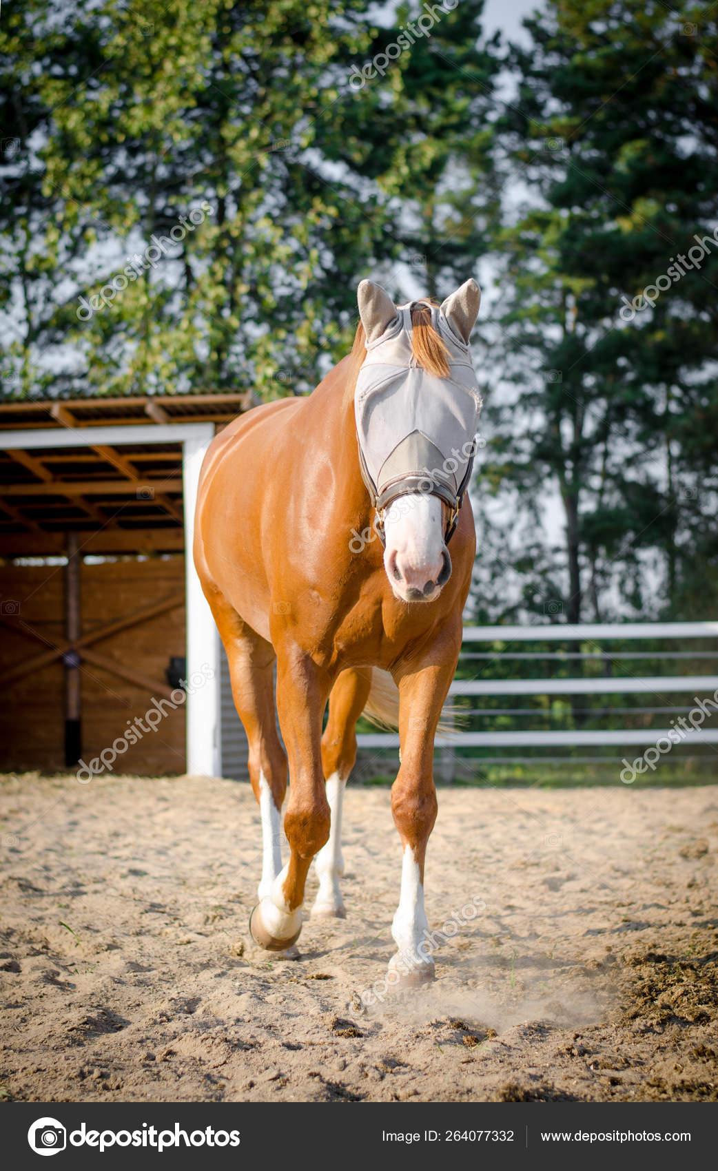 Portrait Funny Red Trakehner Mare Horse Halter Mask Paddock Shelter Stock Photo C Vprotastchik 264077332
