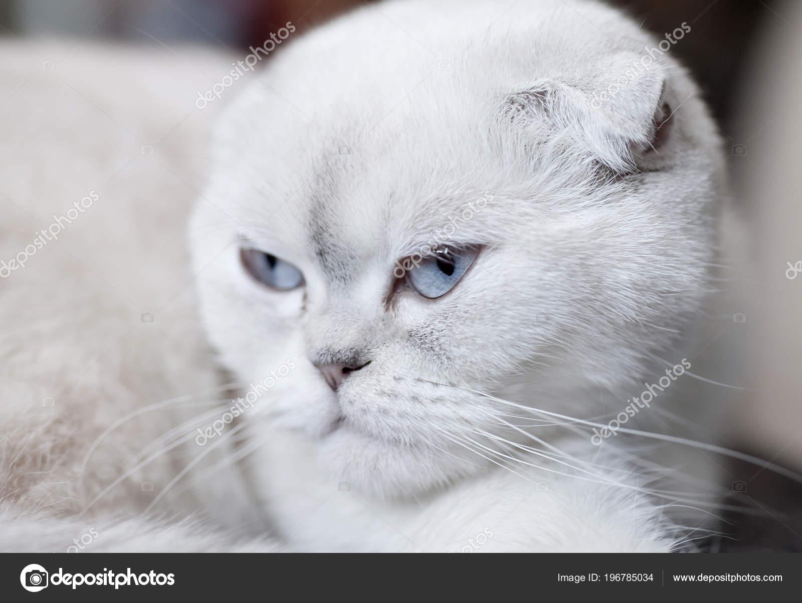 Portrait White Scottish Fold Cat Lying — Stock Photo © Lashkhidzetim
