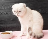 closeup kočku jíst potraviny z mísy