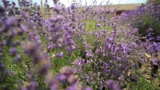 Lavendel. Lavendel wächst in einem Blumenbeet.