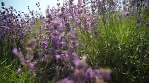Lavender. Lavender growing in a flower bed.