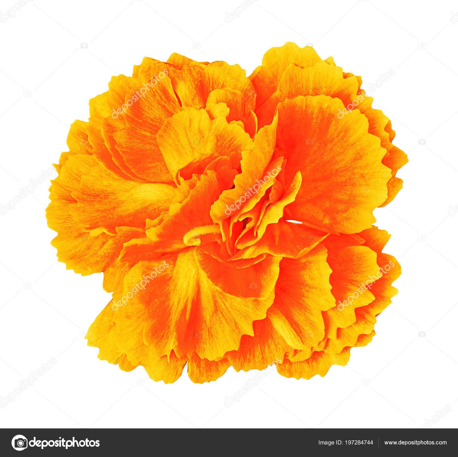 Orange Yellow Carnation Flower Isolated White Background Close