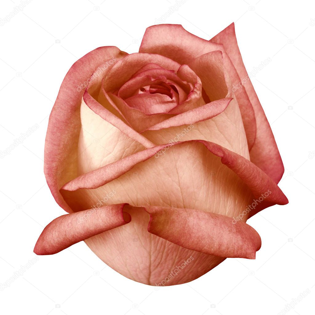 flower titian rose isolated white  background with clipping path. Closeup. Nature.