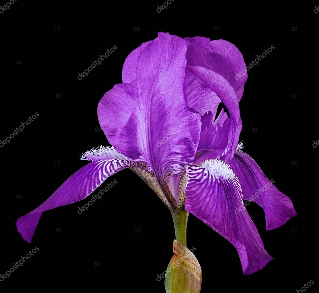Amethyst iris flower isolated on a black background. Close-up. Flower bud on a green stem.