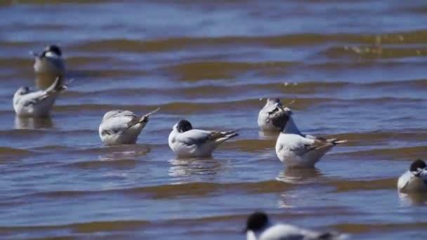 Stádo racku černých s černým hlavou leží v mělké vodě. Ptáci spí, čistí péra a trochu se mrají. Na ptácích se převalává malá vlna. Slunečný letní den.