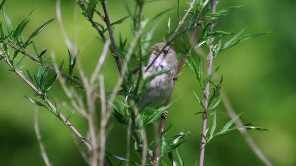 Közönséges poszáta (Sylvia communis) a fészek közelében repül, és elszállítja a csibéket.