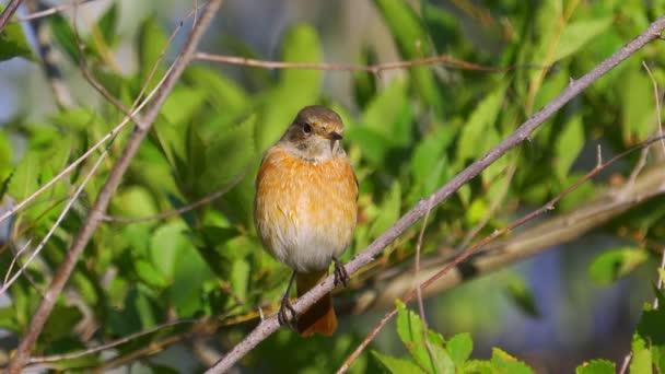 Ptačí Rudstart (Féicurus féicurus), který sedí na větvi stromu. Close-up.