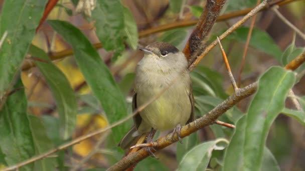 Bird-eurázsiai Blackcap (Sylvia atricapilla) egy fa ágán ül. Közeli.
