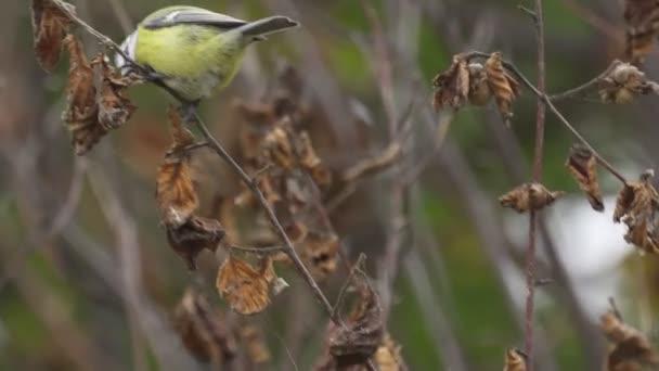 Bird-eurázsiai Kékcinege (Cyanistes caeruleus) az ágak és a keresett étel. Közeli.