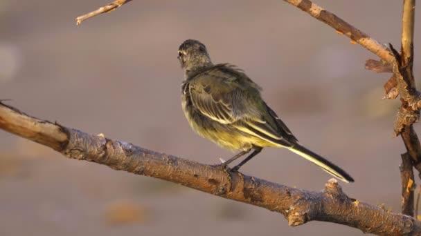 Egy madár - csirke Citrine Wagtail (Motacilla citreola) ül egy száraz ágon, és tisztítja a tollait. Közelkép.