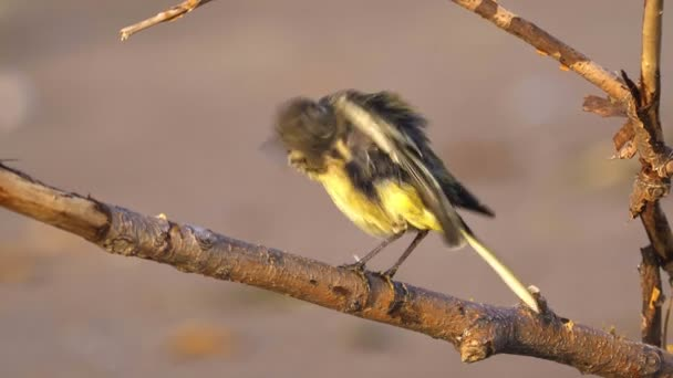 A bird - chick Citrine Wagtail ( Motacilla citreola ) sits on a dry branch and cleans its feathers. Close-up.