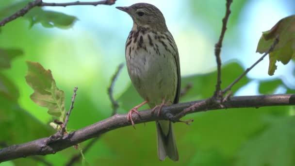 Madár - Tree Pipit (Anthus trivialis) ül egy száraz kivágott fán és énekli dalát. Napfényes nyári reggel az erdőben. Közelkép. A dal hangja a videóban..