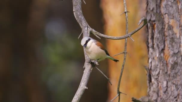 Pták - Štír červený (Lanius collurio) Muž sedící na větvi stromu a odpočívající. Slunečný letní den.