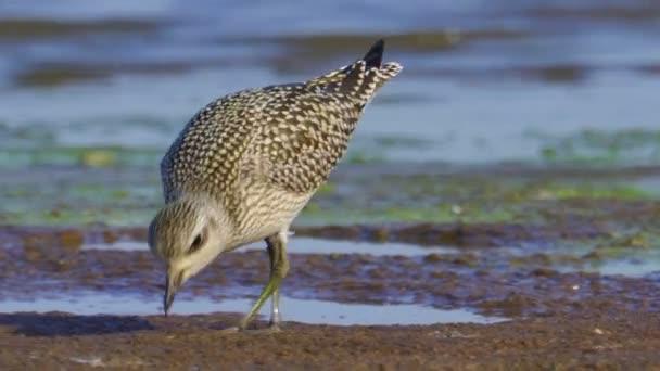 Pták - mladý Grey Plover (Pluvialis squatarola) kráčí podél pobřeží a v mělké vodě za slunečného podzimního dne. Grey Plover hledá jídlo a jí ho. Closeup.