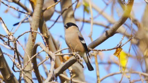 Vogel - weiblicher Gimpel (Pyrrhula pyrrhula) sitzt an einem sonnigen Herbsttag auf einem Ast eines Baumes.