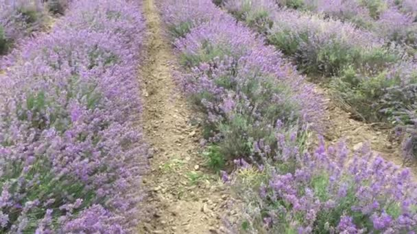 rotation in a circle standing in one place on a lavender field, even rows of purple flowers, lush bushes, large-scale cultivation of culture