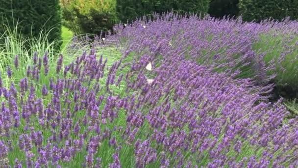 svěží velké levandulové keře s fialové květy, poblíž které létají hodně včel k vytvoření levandulový med, bílý motýlů, kvetoucí zahrada, cypress na pozadí