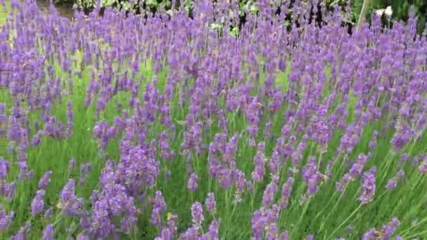üppige große Lavendelbüsche mit lila Blüten, in deren Nähe viele Bienen fliegen, um Lavendelhonig zu erzeugen, Schmetterlinge
