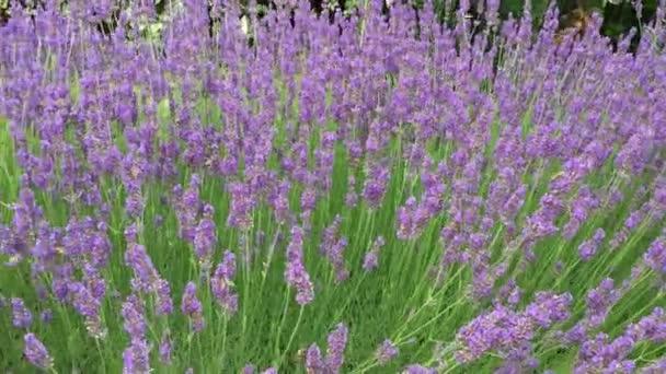 bujné keře fialové levandule poblíž které létají včely a motýli, přírodní povahy, zahrada, relaxace a aromaterapie