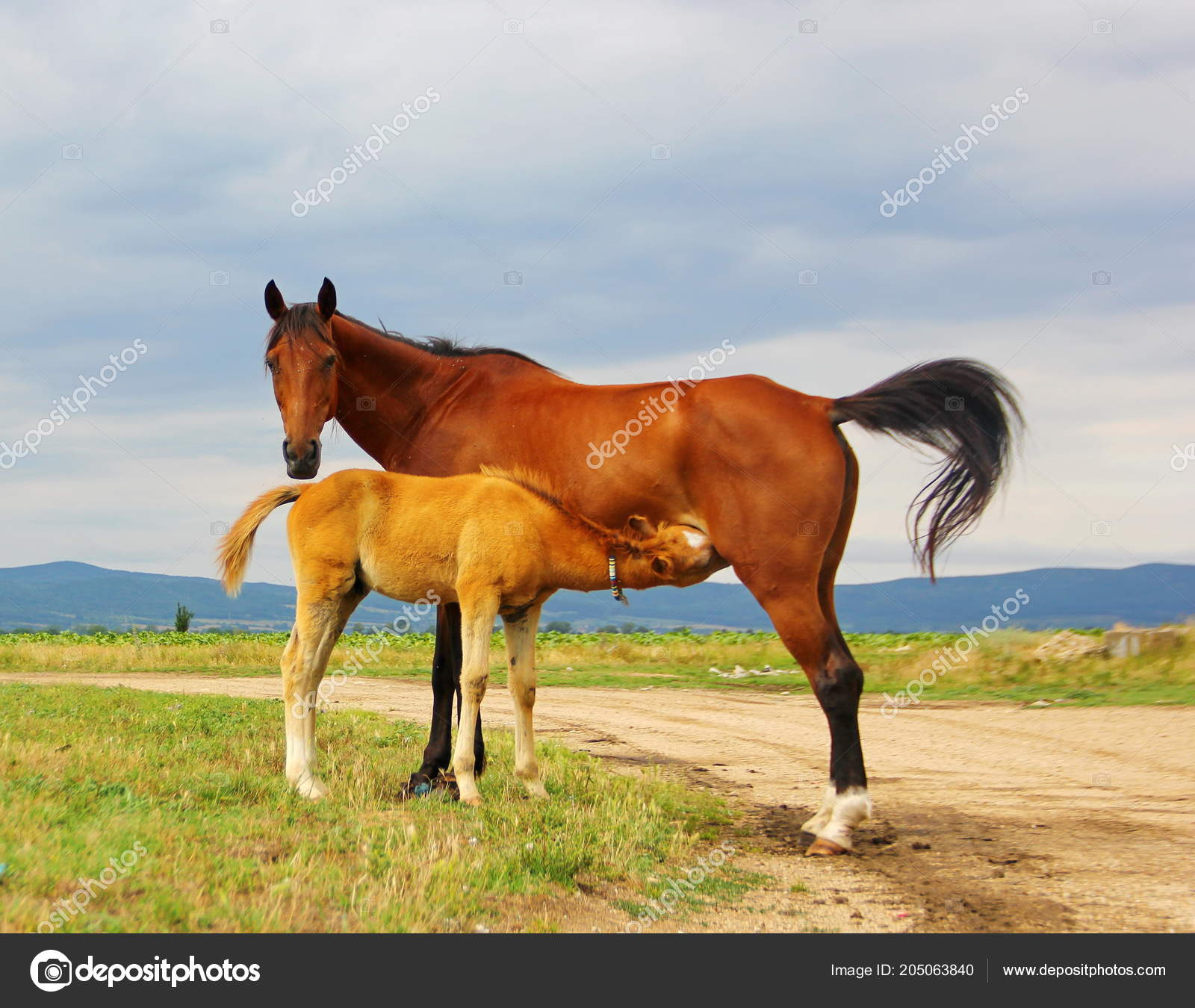 Horse Mother Brown Color Small Cub Foal Field Mother Feeds Stock Photo C Consuelo2002 205063840